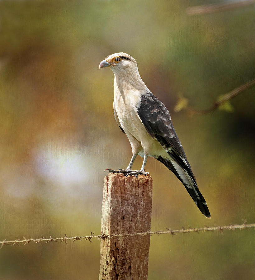 Yellow-headed Caracara Costa Rica Photograph