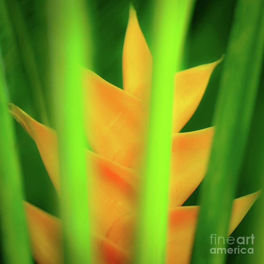 Yellow Photograph - Yellow Heliconia - Tropical Hawaii - 957 by D Davila