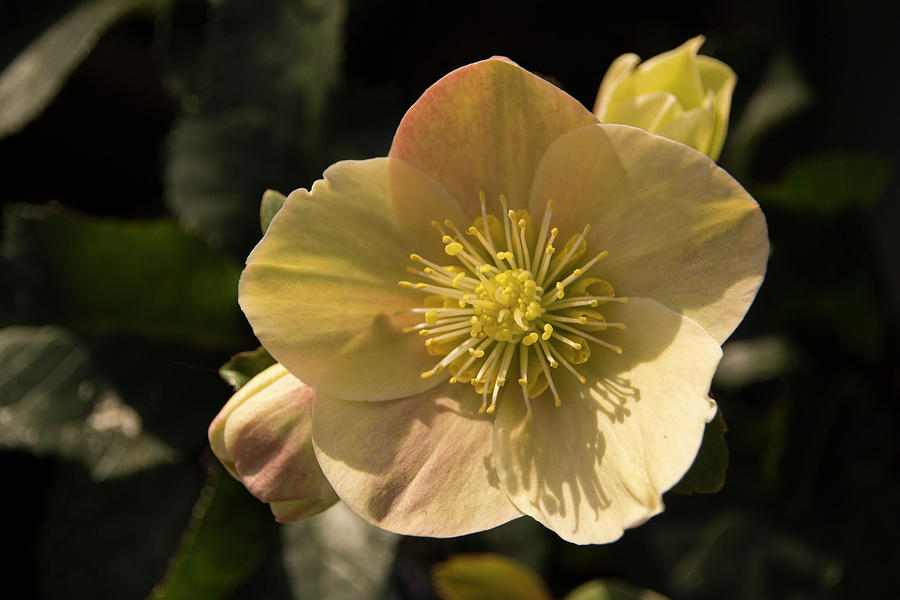 Yellow Photograph - Yellow Helleborus by Susan Wright