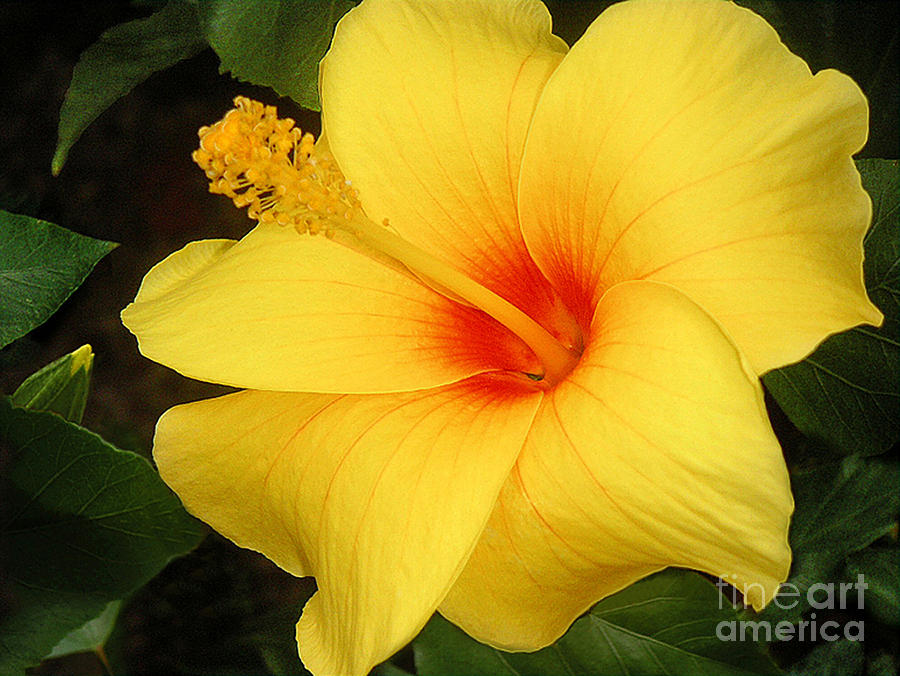 Nature Photograph - Yellow Hibiscus by Lucyna A M Green