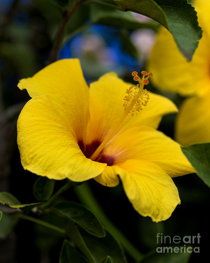 Yellow Hibiscus State Flower Of Hawaii Photograph By Yefim Bam