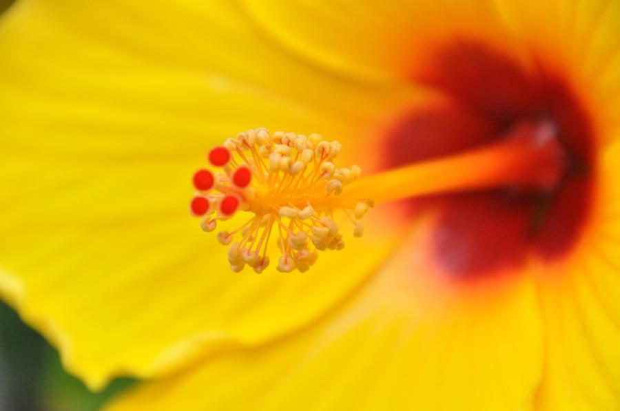 Yellow Hibiscus Stigma Photograph By Aundrea Dolan