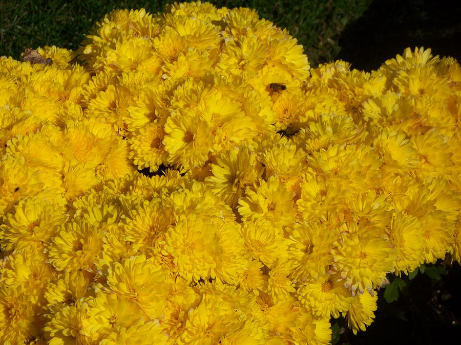 Mums Photograph - Yellow II by Rosanne Bartlett