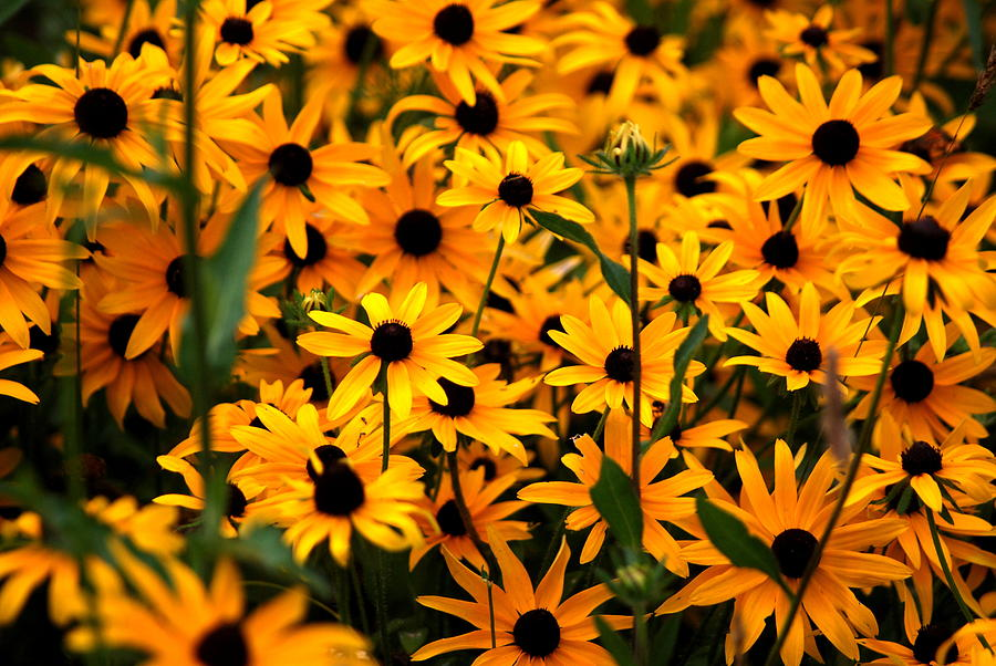 Black Eyed Susan Photograph - Yellow In Bulk by Emily Stauring