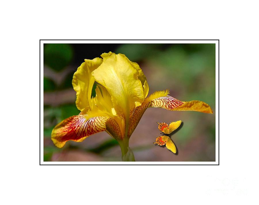Flower Photograph - Yellow Iris And Butterfly by Elaine Manley