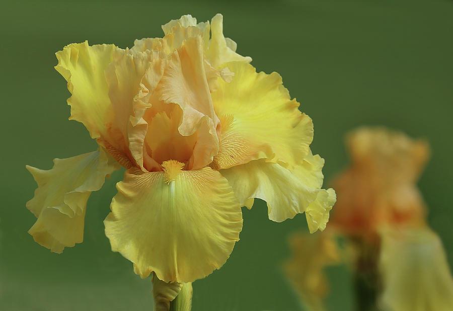 Flora Photograph - Yellow Iris by Joy Schmitz