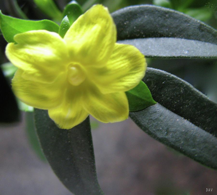 Yellow Jasmine Photograph - Yellow Jasmine by Debra     Vatalaro