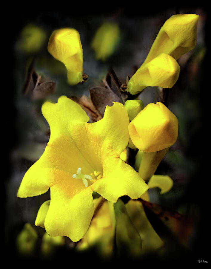 Yellow Jessamine Photograph By Lynn Wilson