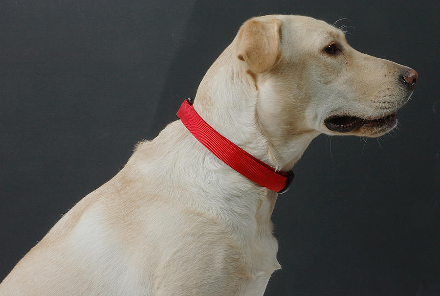 Dog Photograph - Yellow Lab by Jerry McElroy