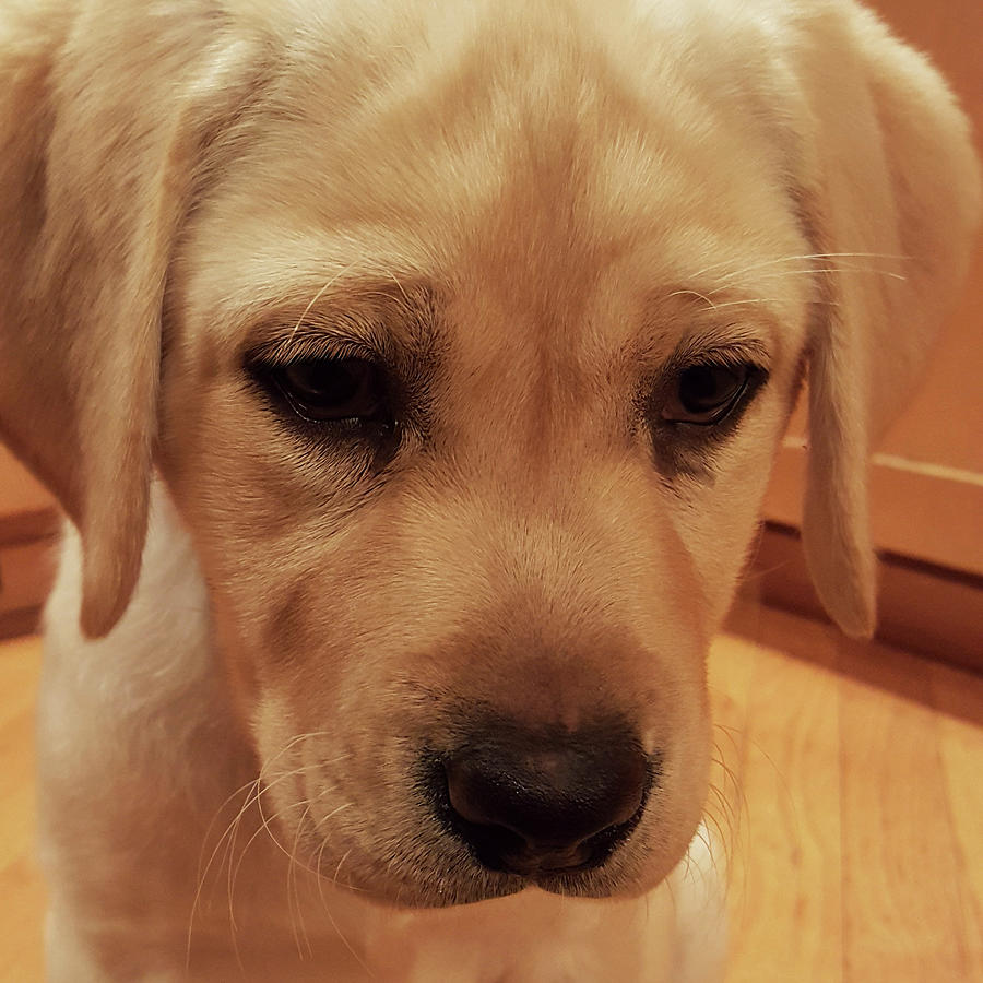 Yellow Labrador Retriever Cute Puppy Face graph by Crista Forest