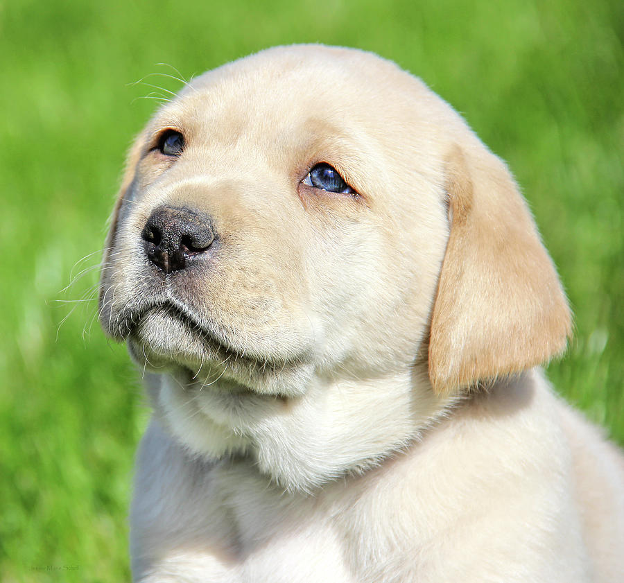 Hungarian Labrador puppies for sale!