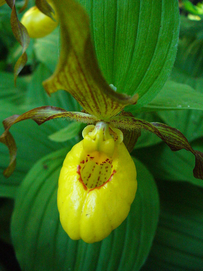 Yellow Lady Slipper Photograph - Yellow Ladys Slipper by Peggy King