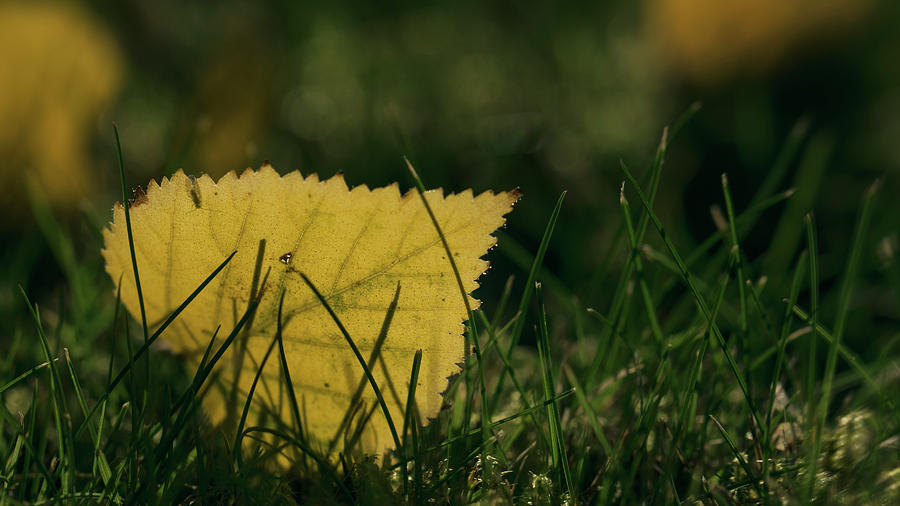 Yellow Leaf In The Grass Photograph