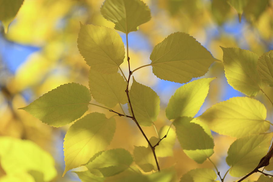 Yellow Leaves. by Digiblocks Photography