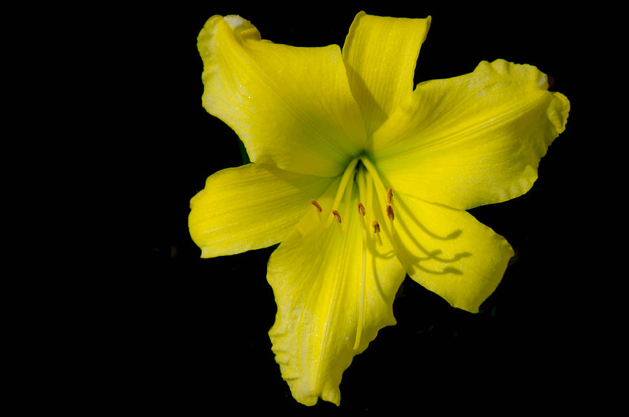 Yellow lily flower black background photograph by bruce pritchett lily photograph yellow lily flower black background by bruce pritchett mightylinksfo