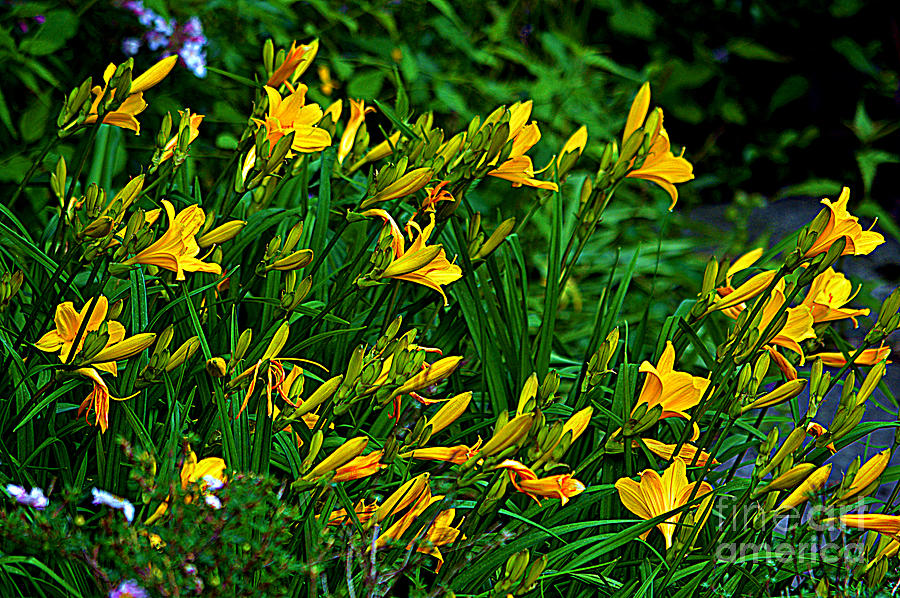 Yellow Lily Flowers by Susanne Van Hulst