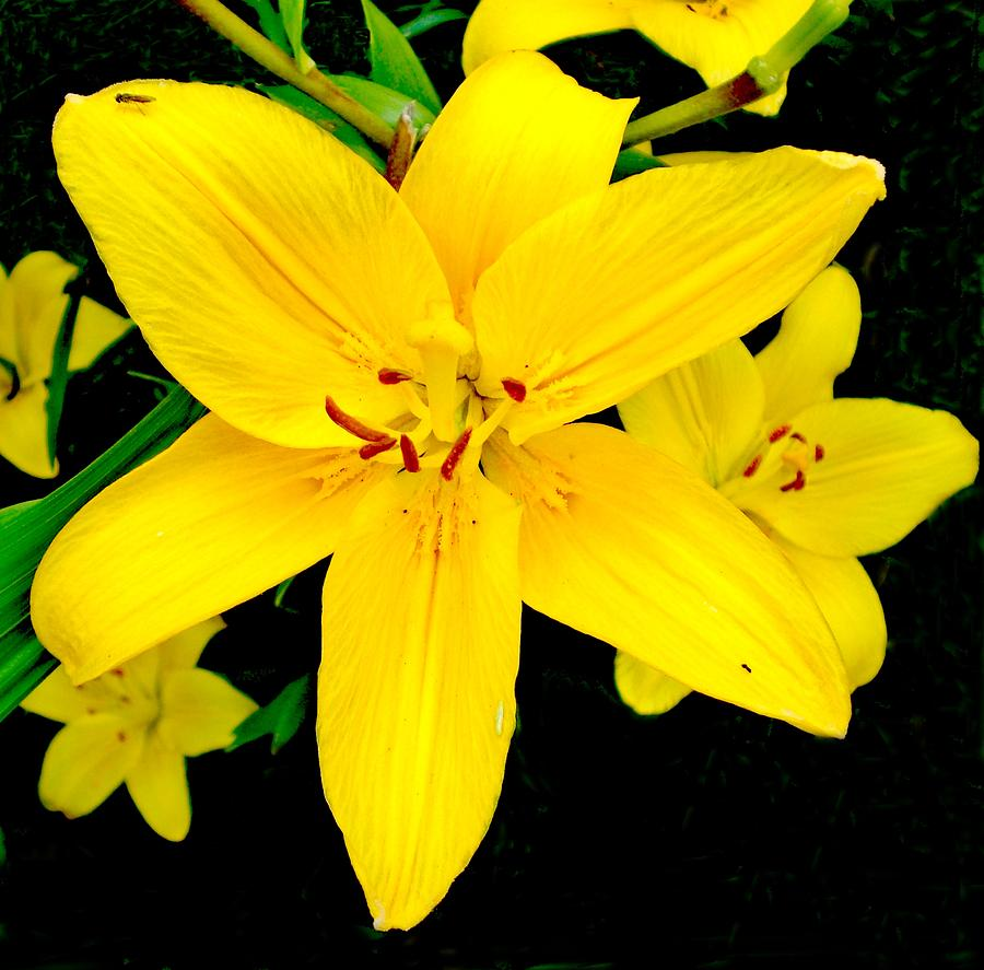 Yellow lily may birth flower photograph by sholeh mesbah lily photograph yellow lily may birth flower by sholeh mesbah izmirmasajfo