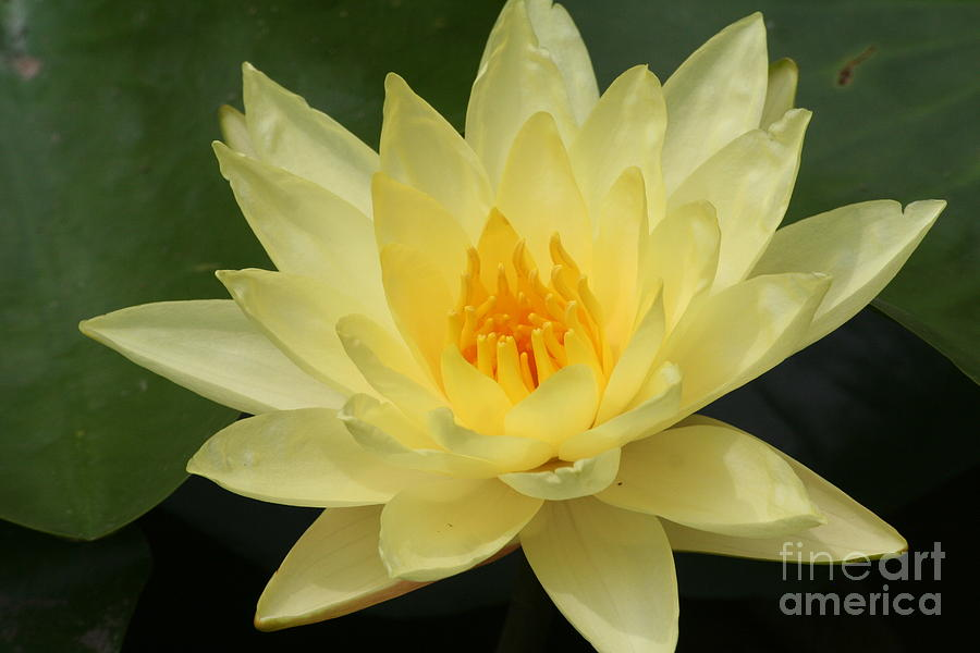 Yellow Lotus Flower Photograph By Eric Irion