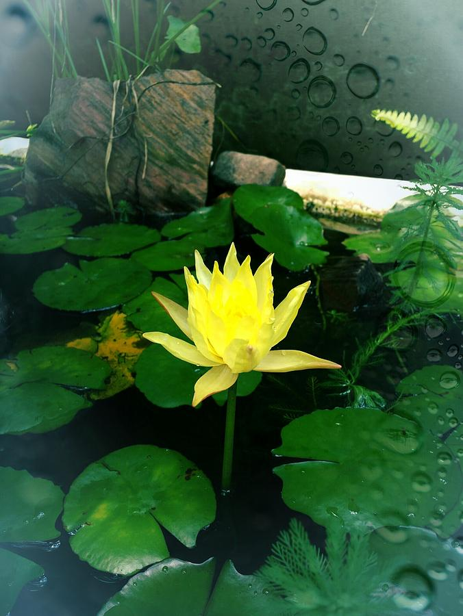Yellow lotus flower photograph by michael african visions mightylinksfo