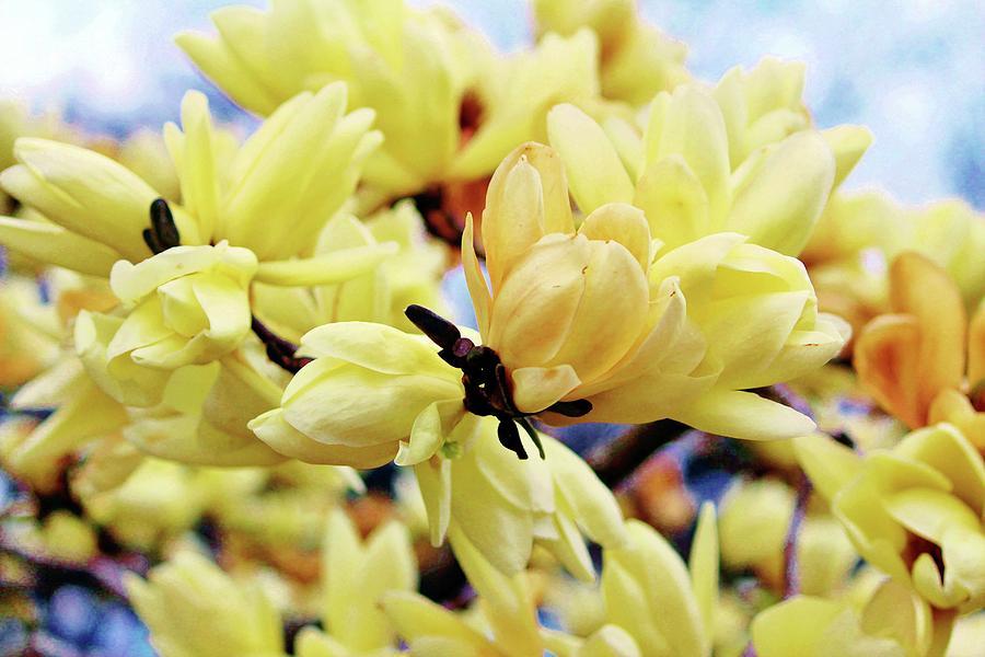 Yellow Magnolia Flowers Photograph By Cynthia Guinn