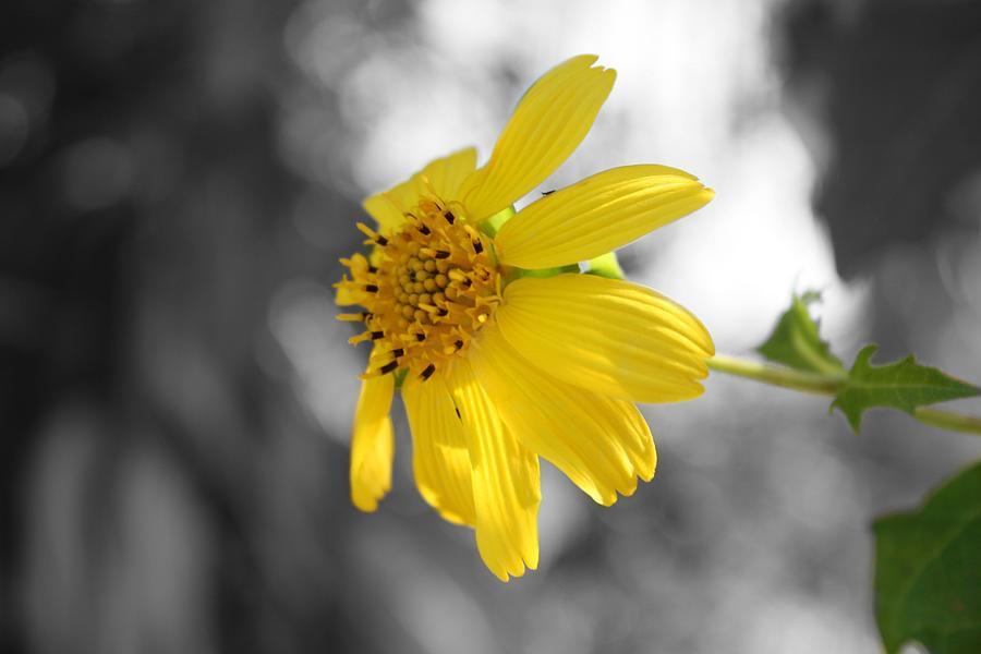 Yellow Flower Photograph - Yellow by Mandy Shupp