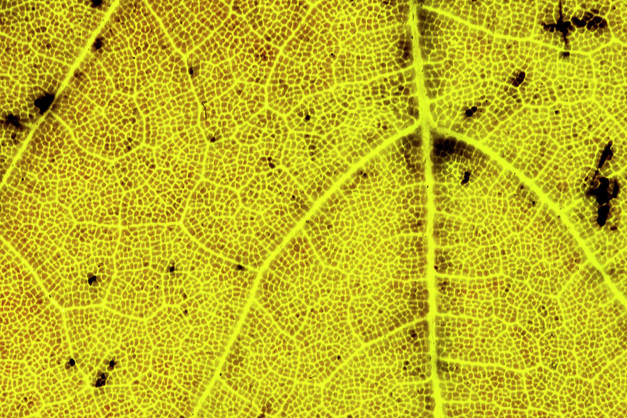 Maple Leaf Photograph - Yellow Maple Leaf Close-up by Lonnie Paulson