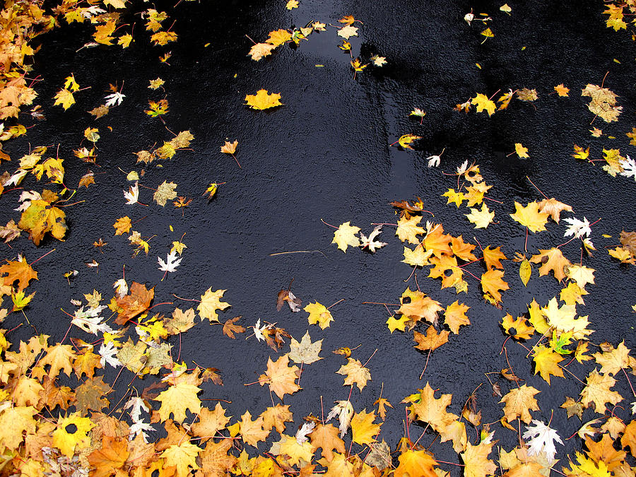 Landscape Photograph - Yellow Maple Leaves On Pavement  by Lyle Crump