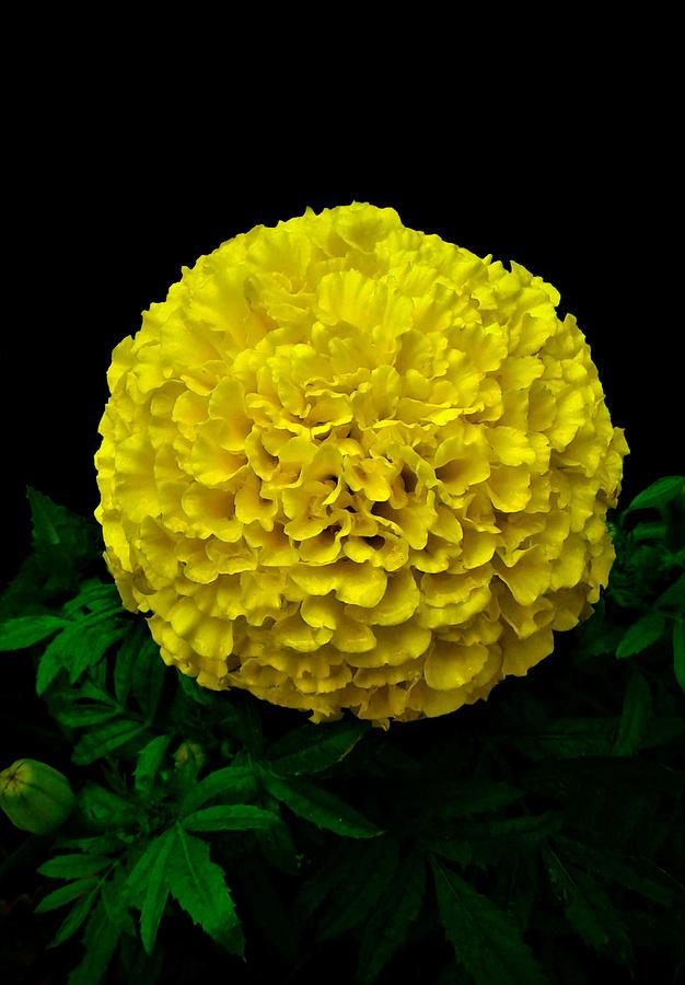 Marigold Photograph - Yellow Marigold Flower On Black Background by Olga Zavgorodnya