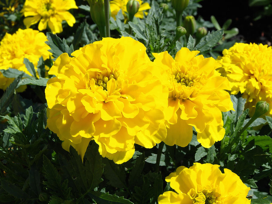 Yellow Marigold Flowers Photograph By Robert Gebbie