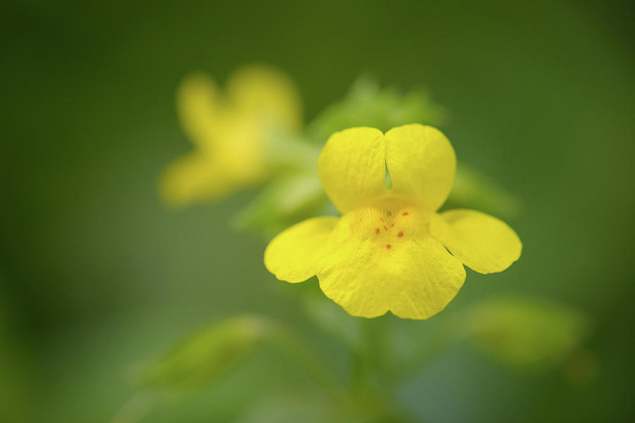 Yellow monkey flower photograph by alexander kunz flowers photograph yellow monkey flower by alexander kunz mightylinksfo
