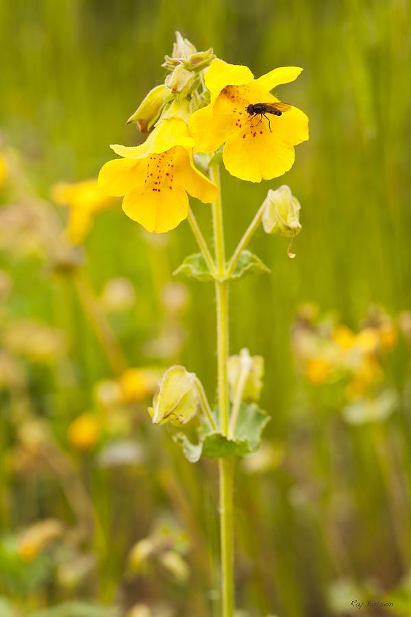Yellow monkeyflower photograph by ray bulson alaska photograph yellow monkeyflower by ray bulson mightylinksfo