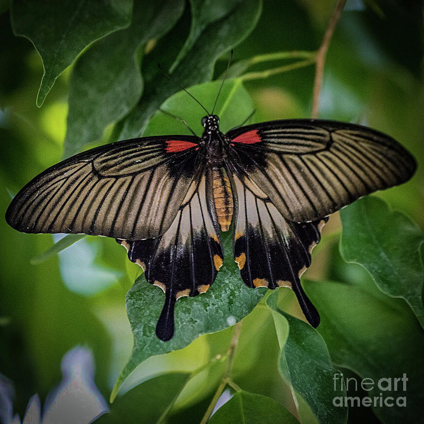 Dow Gardens Photograph - Yellow Mormon by Joseph Yarbrough