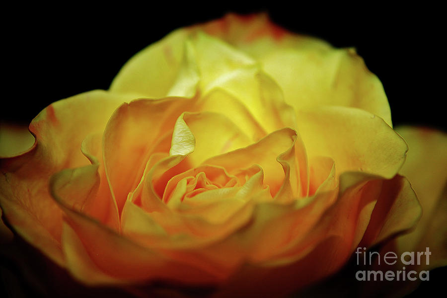 Yellow Mothers Day Rose Photograph