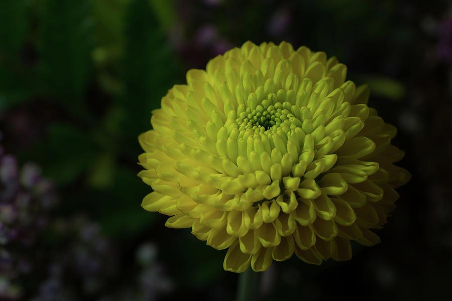 Nature Photograph - Yellow Mum by Denise McKay