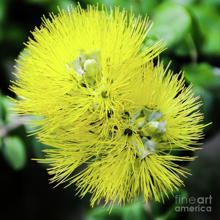 Yellow Ohia Flowers - Hawaii  by D Davila