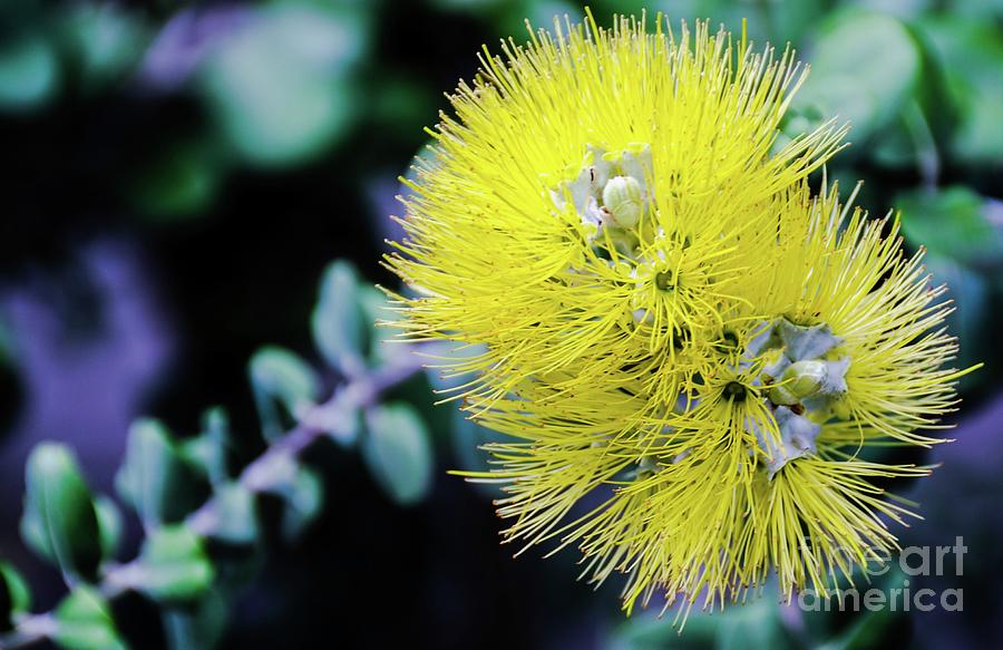 Yellow Photograph - Yellow Ohia Flowers In Hawaii by D Davila
