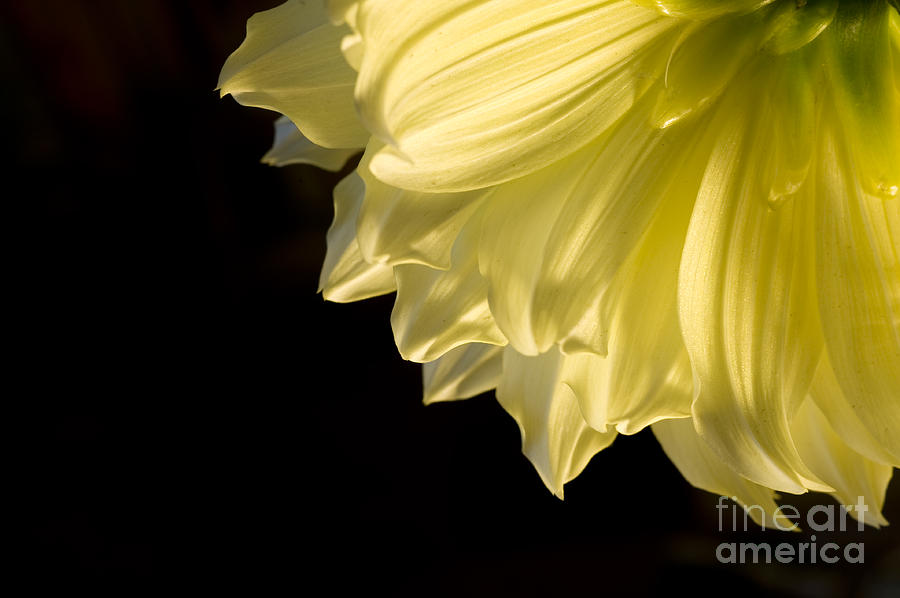 Flower Photograph - Yellow On Black by Ron Hoggard