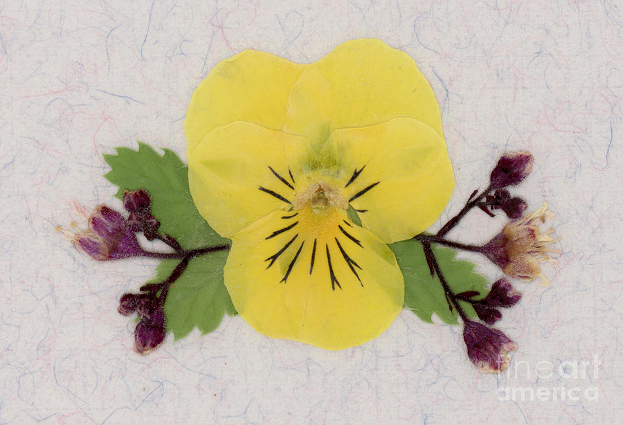Yellow Pansy and Coral Bells Pressed Flowers by Em Witherspoon