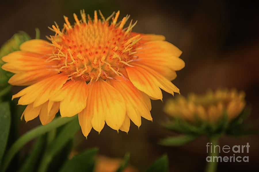 Flower Photograph - Yellow Passion by Gaby Swanson