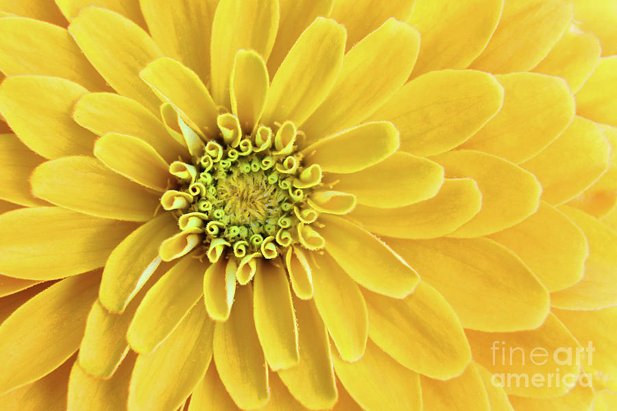 Yellow Perfection 3680 Photograph