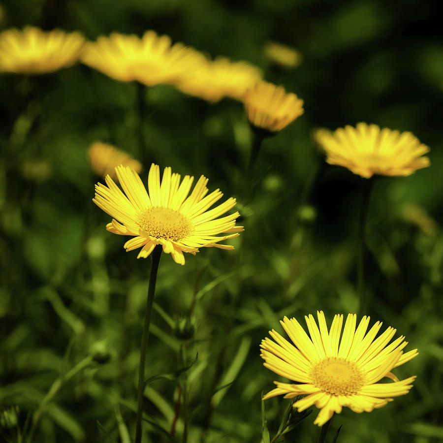 Flowers Photograph - Yellow Petals by Nick Bywater