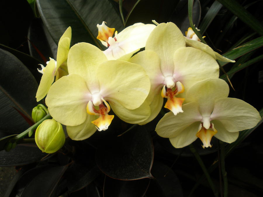 yellow phalaenopsis orchid spray photograph by freda sbordoni