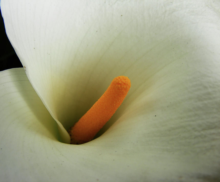 Calla Photograph - Yellow Pistil by Wilma Stout