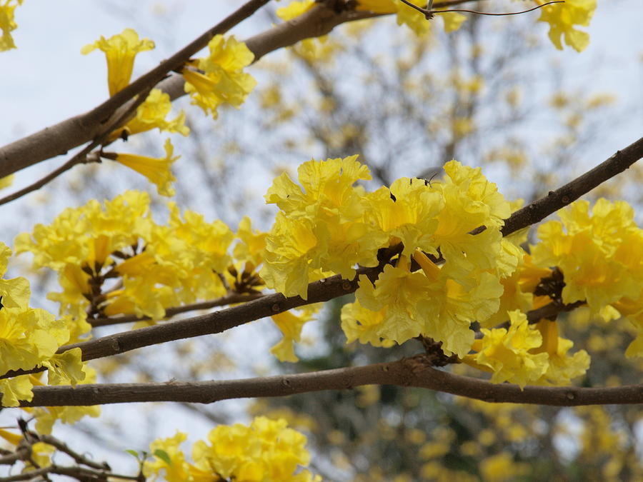 Tropical Flowers Photograph - Yellow Poui In Bloom by Peter Hanoomansingh