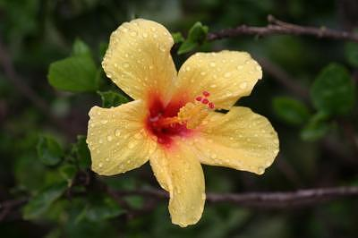 Hawaii Photograph - Yellow Raindrop Hibiscus by Kristin Sunderhaft