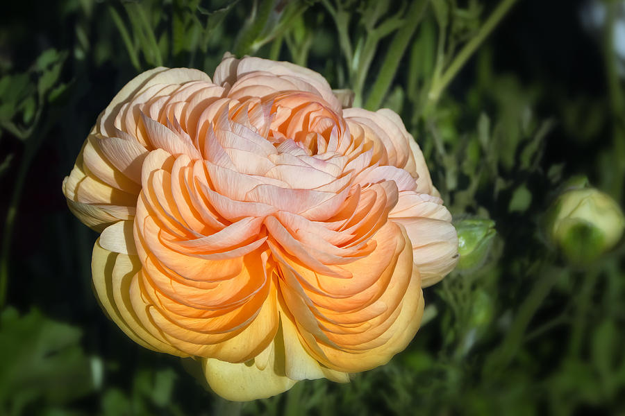 Yellow Ranunculus Photograph
