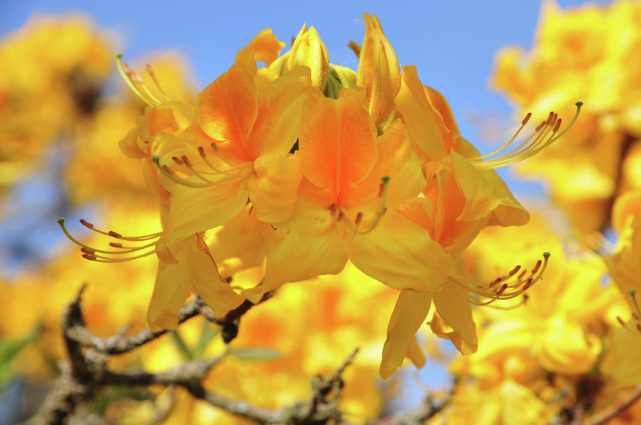 Yellow Rhododendron Flowers Spring Pruhonice Park Photograph By