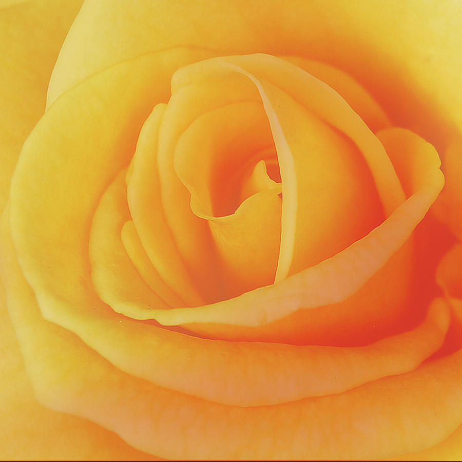 Flower Photograph - Yellow Rose 4788 by Michael Peychich