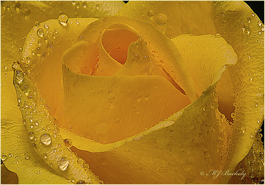 Yellow Photograph - Yellow Rose And Dew by Marti Buckely