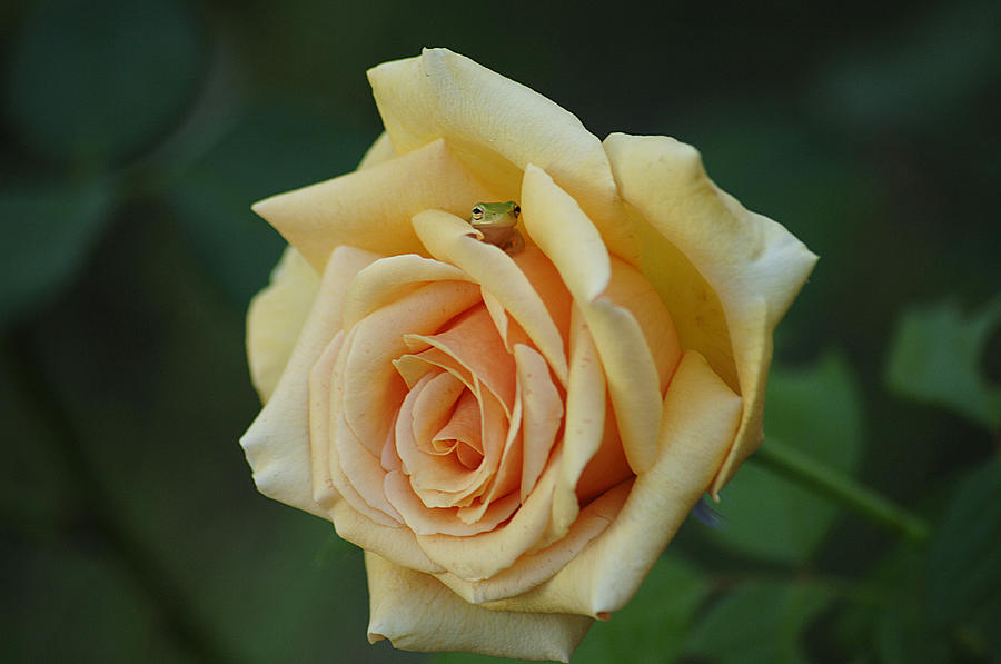 Rose Photograph - Yellow Rose And Frog by Keith Lovejoy